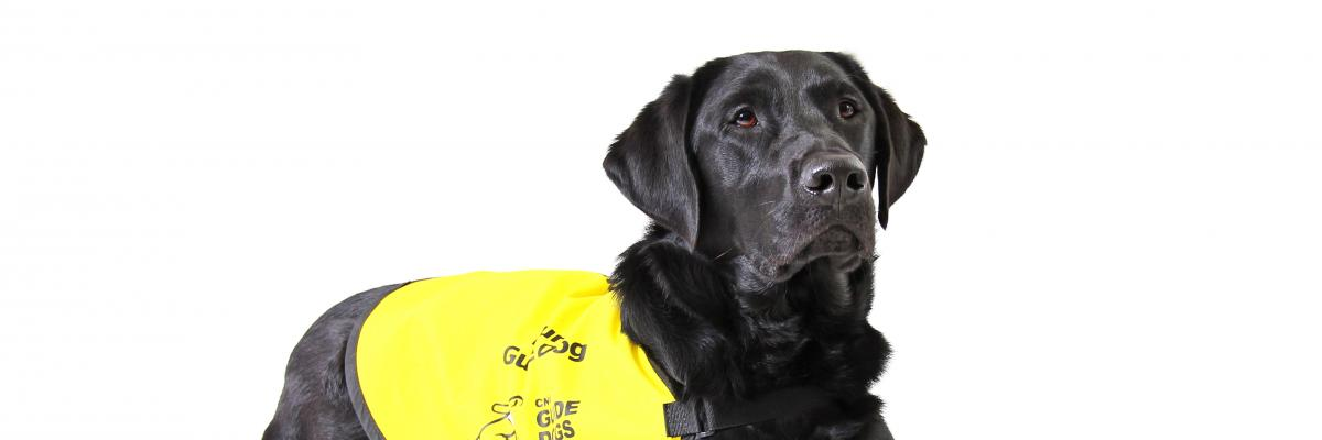 Photo Black Lab guide dog wearing yellow vest