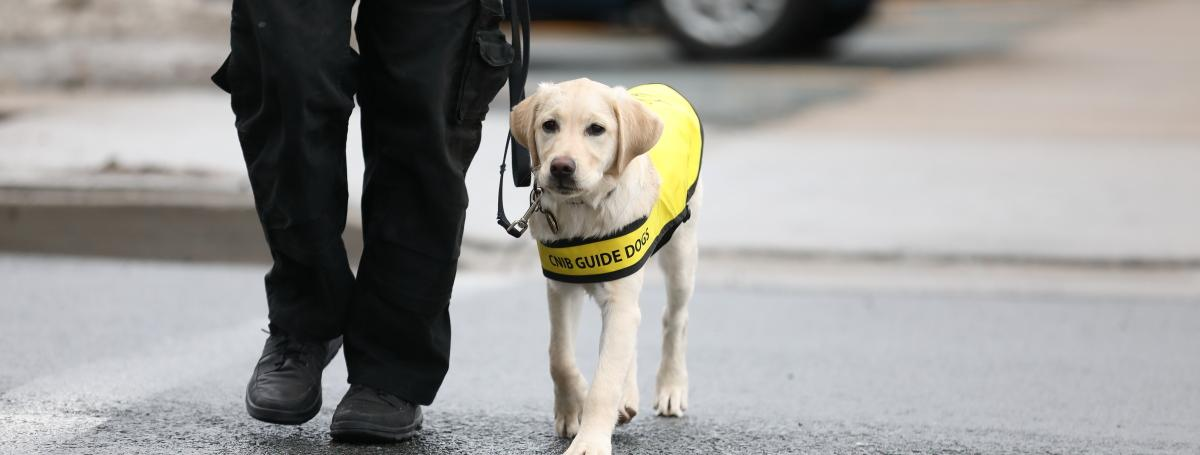 A golden lab. CNIB Guide Dog - puppy in training, wearing a yellow vest and leash. It is walking alongside a handler.