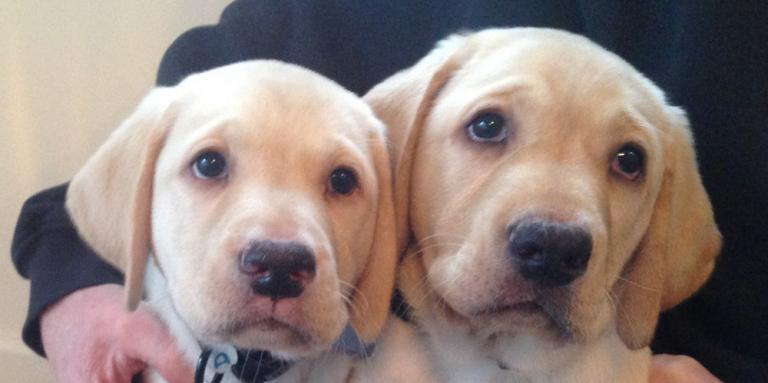 Photo of two golden retriever puppies