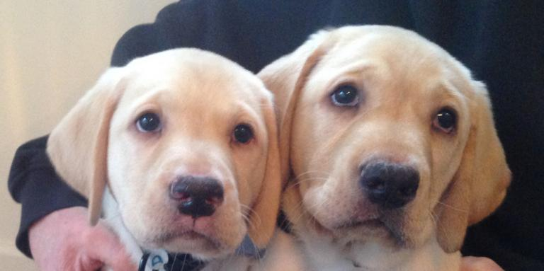 Two golden retriever puppies