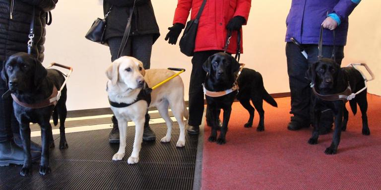 Four CNIB guide dogs stand in front of their handlers legs.