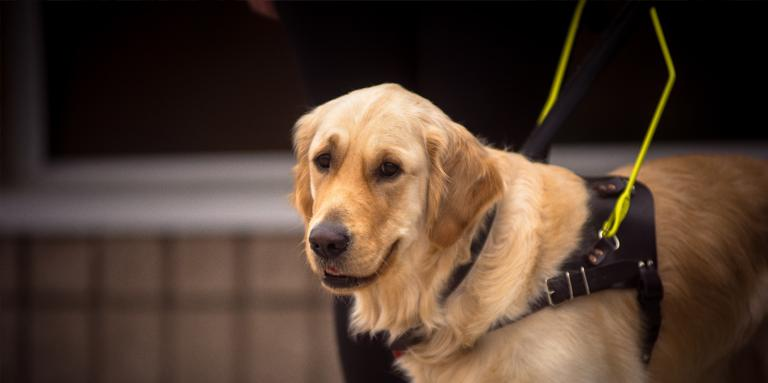 A Golden Retriever guide dog in a harness.