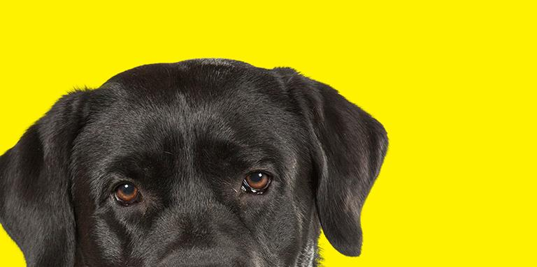 The top half of a Black Labrador's head on yellow.