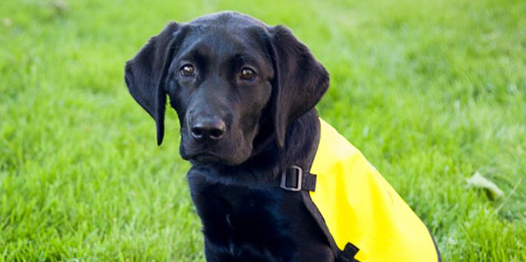 Photo of a black lab puppy wearing a CNIB Guide Dogs yellow vest.