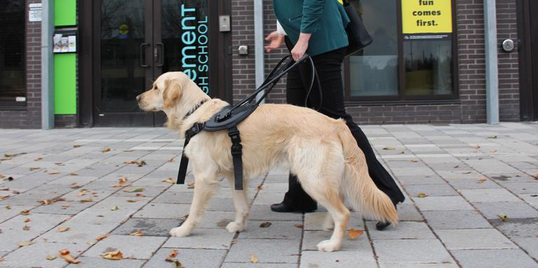 A yellow guide dog in a black harness.
