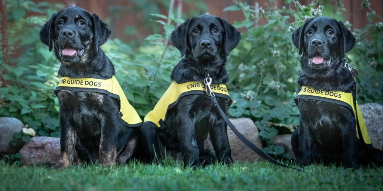 Three CNIB Guide Dogs sitting in the grass staring at the camera.