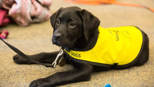 A Black Lab in a yellow vest lying on the floor.